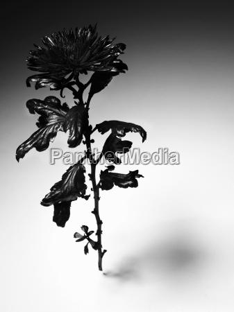tod blume pflanze gewaechs schwarze schwarz