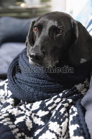 hund in gestrickte decke auf sofa