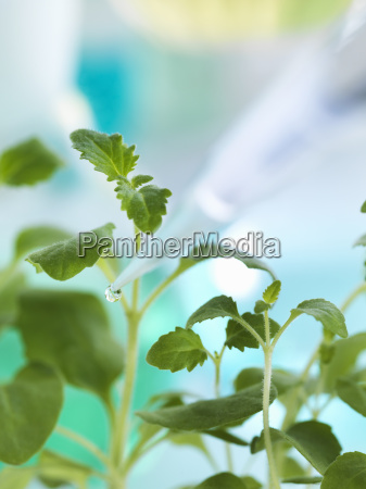 pipetting experimental chemical onto seedling in