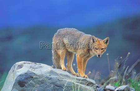 patagonian red fox dusicyon culpaeus standing