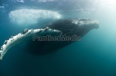 humpback whales megaptera novaeangliae migrate from