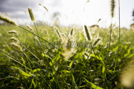 nahaufnahme von sonnenbeschienenen langen graesern im