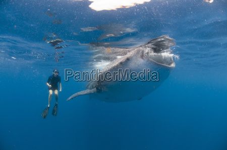 underwater view of snorkeler watching whale