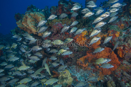 underwater view of juvenile grunts and