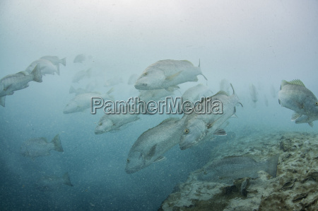 underwater view of large cubera snapper
