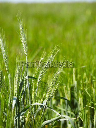 close up of barley stalks in