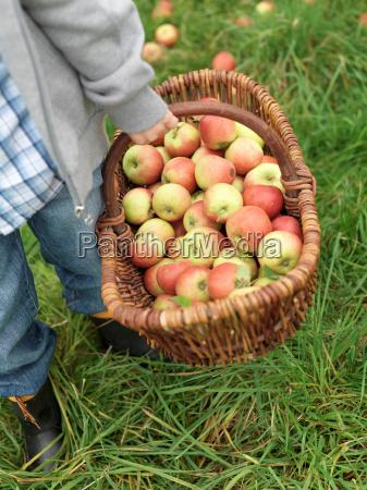 boy carrying basket full of ripe