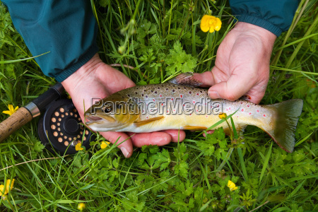 fisherman holding brown trout in grass