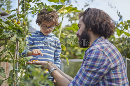 father and son counting picked cherry