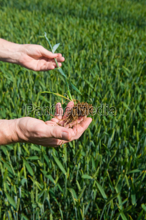 male farmers hands examining green wheat