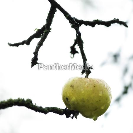 baum apfelbaum frucht obst outdoor freiluft