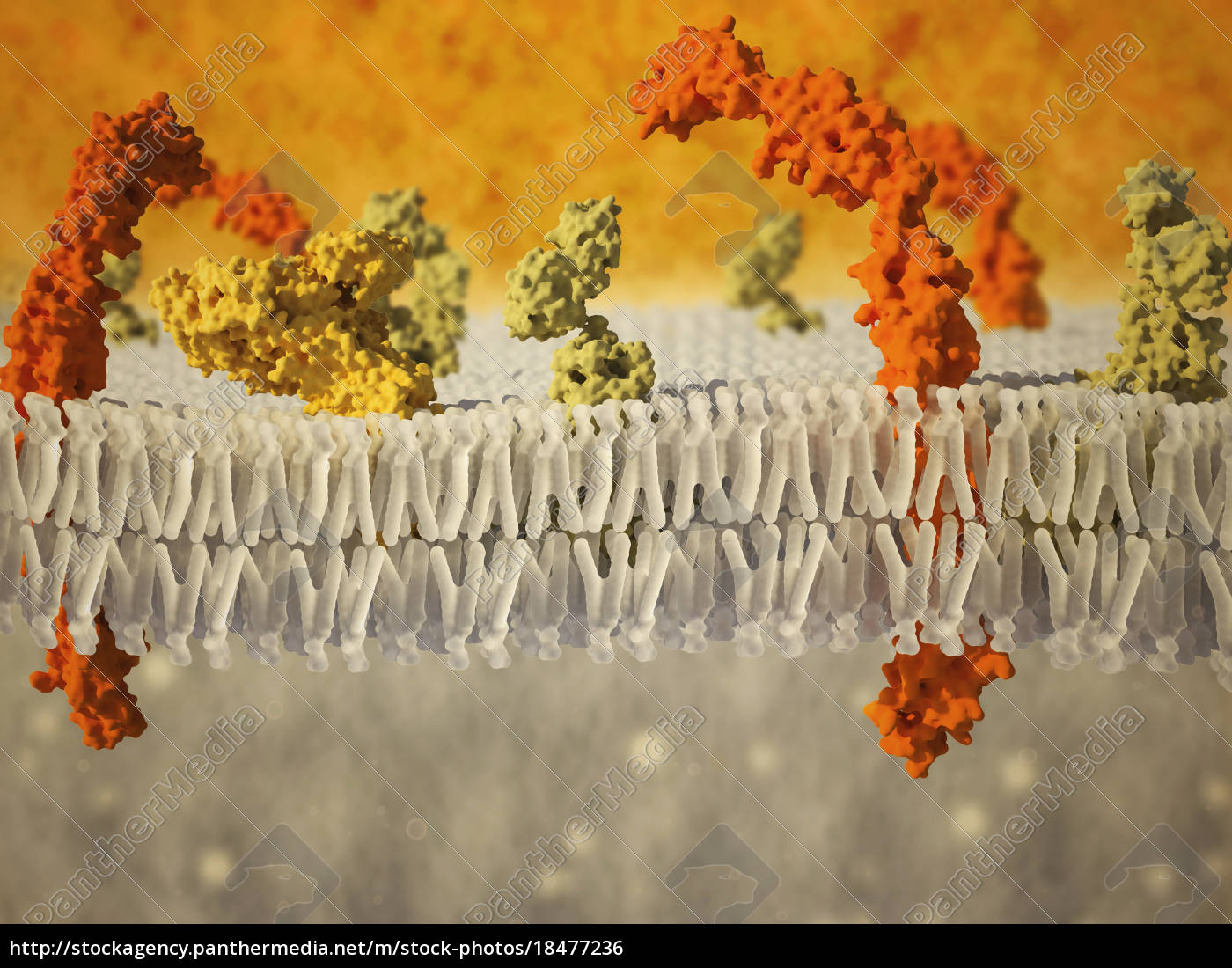 phospholipid, bilayer, der, zellmembran., computergrafik, die, den - 18477236