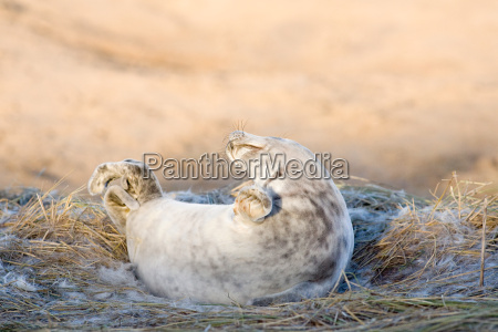 grey seal pup donna nook lincolnshire