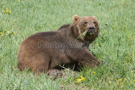 grizzly bear feeding on grass