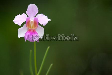 vanda vermisst joaquim orchidee