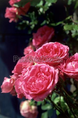 rosa, rosen - 18676472