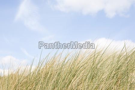 marram grass and sky