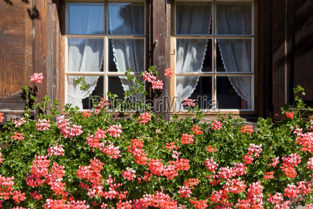 pink geraniums in a window box