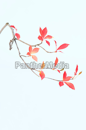 sparse branch with pink and red