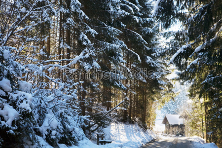 snow covered fir trees leading to