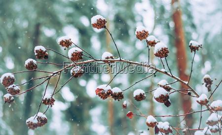winter frucht obst gebuesch schneeflocken busch