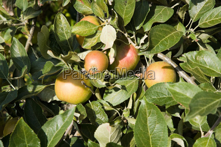 apples growing in orchard