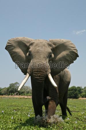 gefahr gefahren gefaehrdung nationalpark afrika elefant