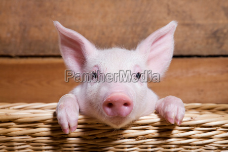 piglet im korb close up