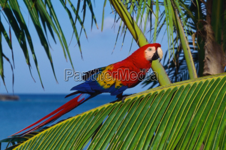scarlet macaw on palm leaf