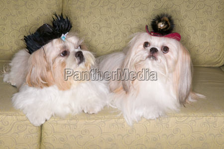 two pekinese dogs on sofa