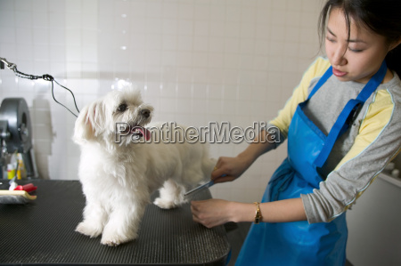 woman grooming a terrier