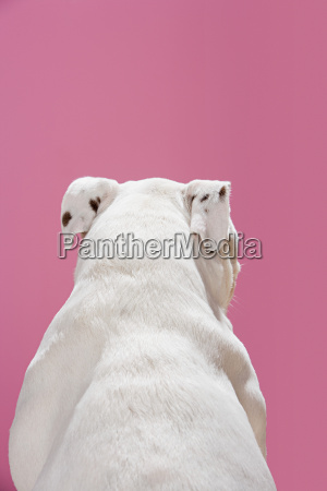 rear view of a bulldog