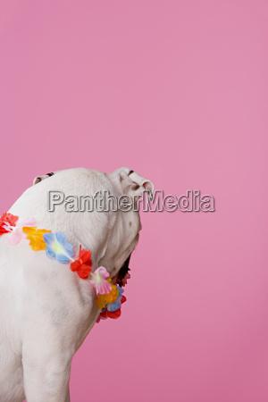 bulldog wearing a flower garland