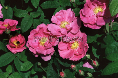 apothecaries rose