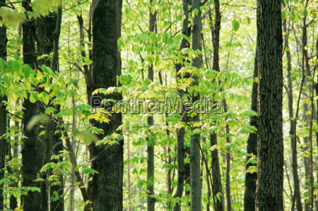 birch and maple trees in spring