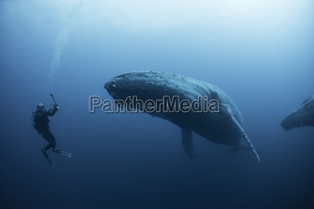 underwater view of diver photographing humpback