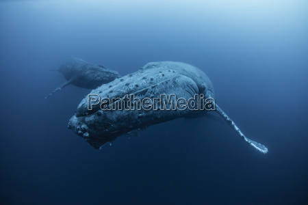 underwater view of humpback whale revillagigedo