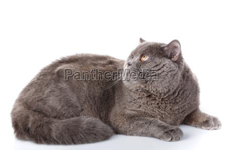 gray cat british straight lying on