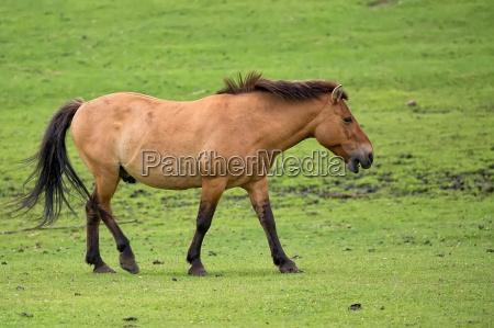 przewalskis pferd auf der flucht