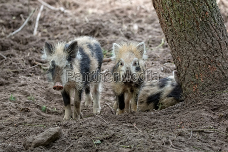 baby wild boars in the forest