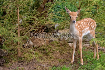 baby fallow deer in the forest
