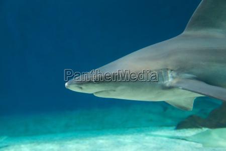 gefaehrlicher haifisch unterwasser kuba karibisches meer
