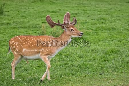 fallow deer on the run in