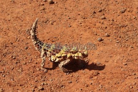 dornteufel, im, northern, territory, in, australien - 18939241