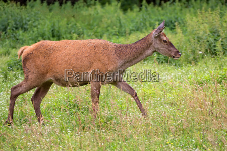 red deer on the run in