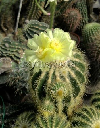 flowering notokaktus notocatus spec