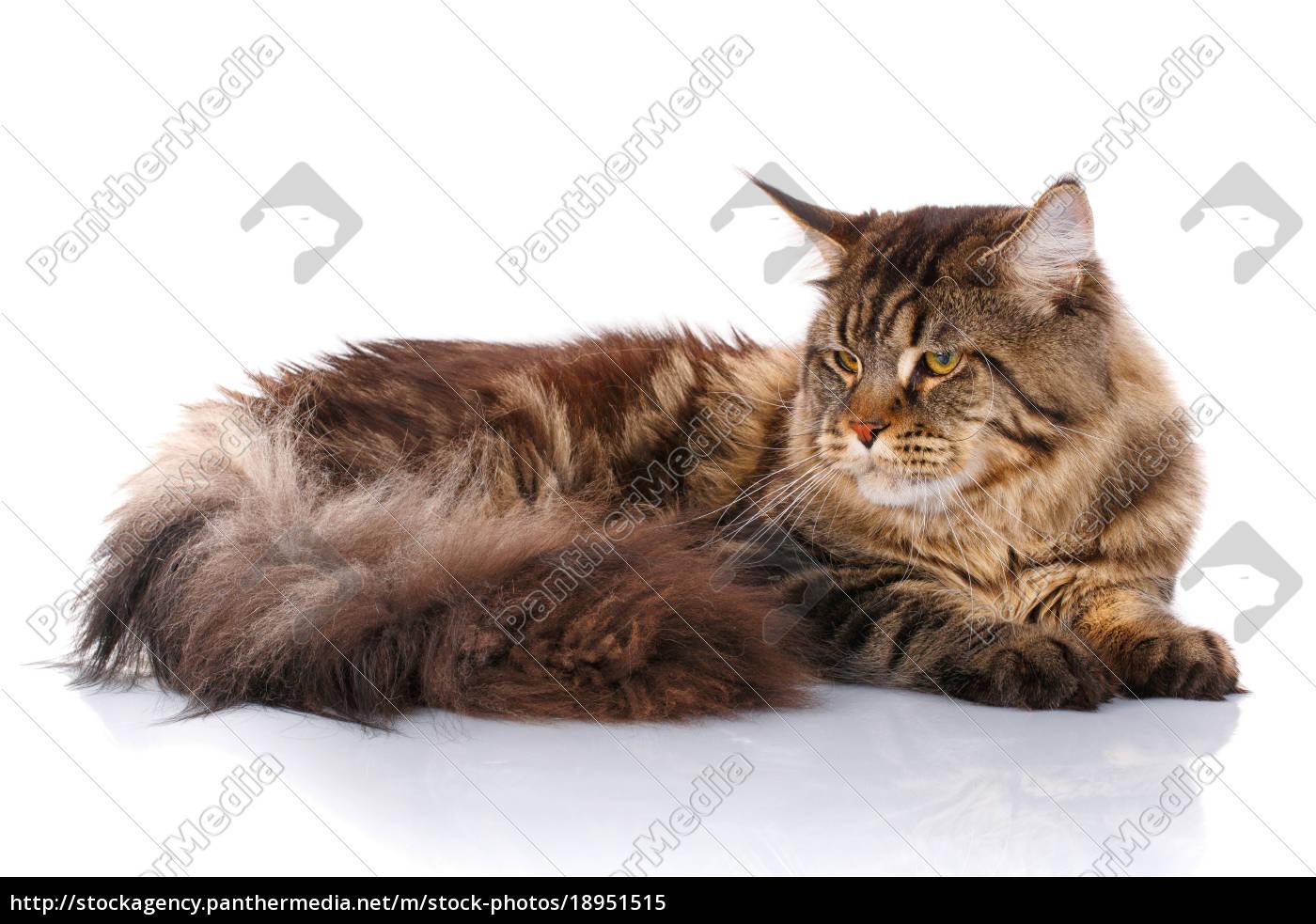 Maine Coon Katze Liegend Isoliert Auf Weiss Lizenzfreies Bild 18951515 Bildagentur Panthermedia