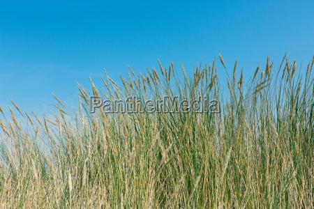 strandhafer und duenengras im sommer