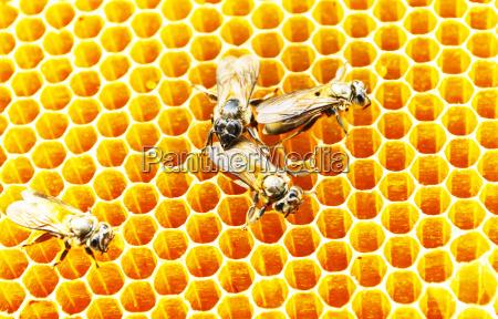 bienen honig zellen