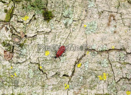 cardinal beetle on bark surface